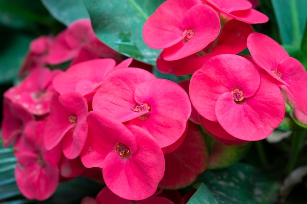 Closeup tiro de uma linda coroa de flores de espinhos rosa Foto gratuita