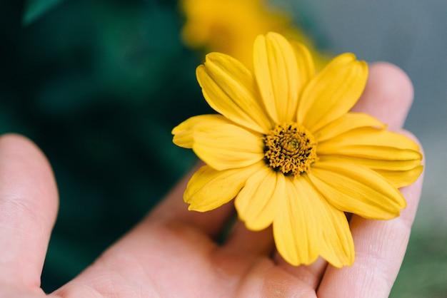 Closeup tiro de uma pessoa segurando uma flor amarela com um fundo desfocado Foto gratuita