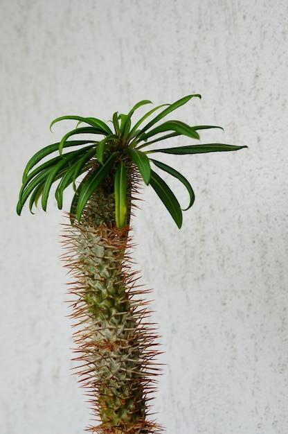 Closeup tiro de uma planta de palmeira de madagascar contra uma parede de concreto branca Foto gratuita