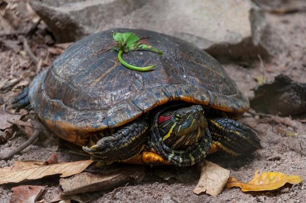 Closeup tiro de uma tartaruga velha na selva perto de formações rochosas Foto gratuita