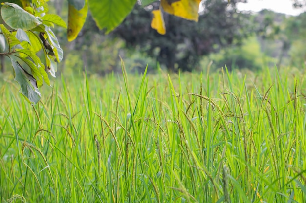 Closeup, vista, de, arroz paddy, em, a, arroz, terraços, de, tailandia Foto Premium