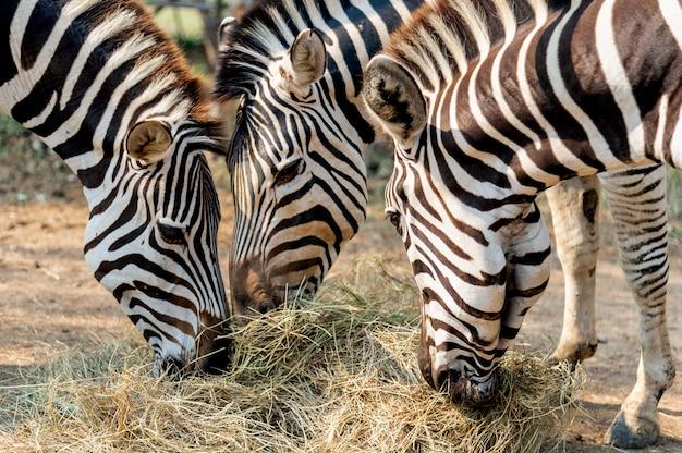 Closeup zebra comendo grama Foto Premium