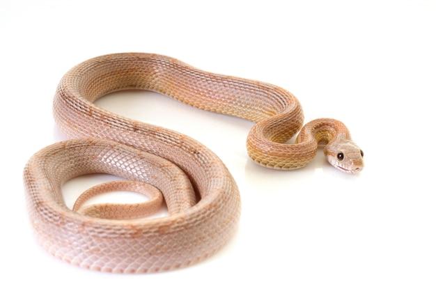 Cobra de milho Foto Premium