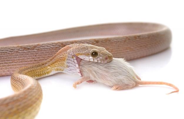 Cobra do milho comendo rato Foto Premium