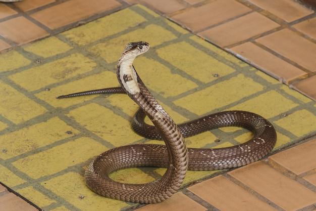 Cobra está no chão é uma cobra de tamanho médio há um veneno sério. Foto Premium