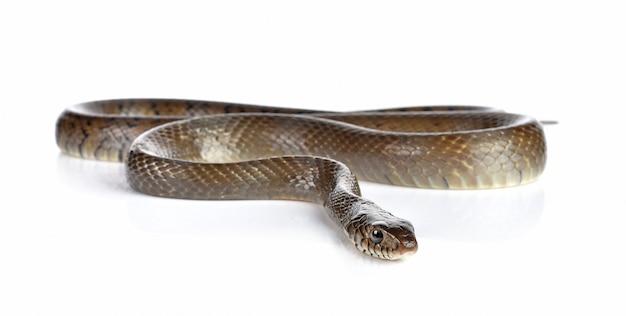 Cobra, isolado, branco Foto Premium