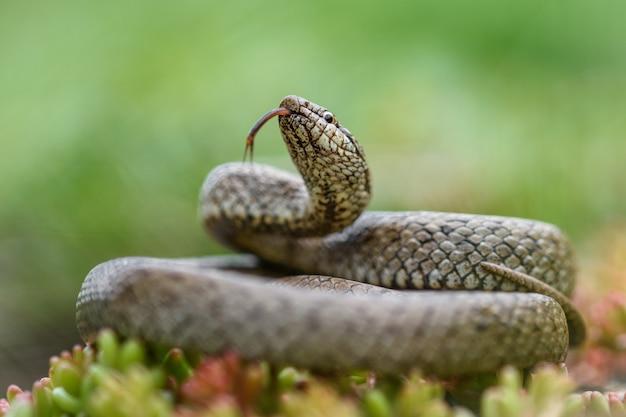 Cobra lisa, coronella austiraca, Foto Premium