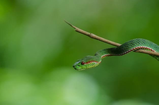 Cobra pitviper verde do papa Foto Premium