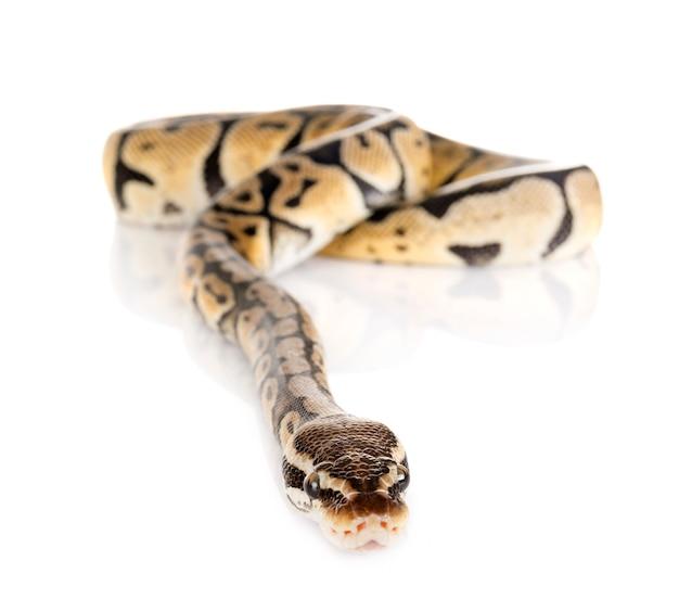 Cobra python bola Foto Premium
