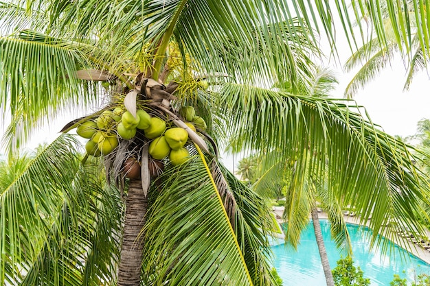 Coco fresco verde e marrom na árvore para o suco Foto Premium