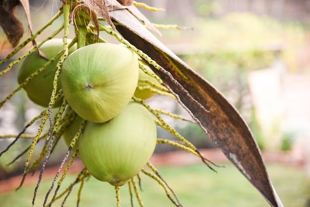 Coco verde fresco e jovem na fruta tropical de palm tree Foto Premium