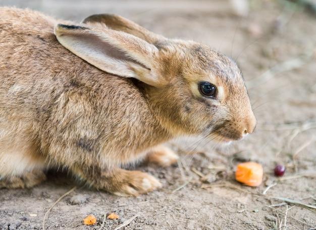 Coelho da páscoa vermelho grande e fofo comendo cenoura lá fora Foto Premium