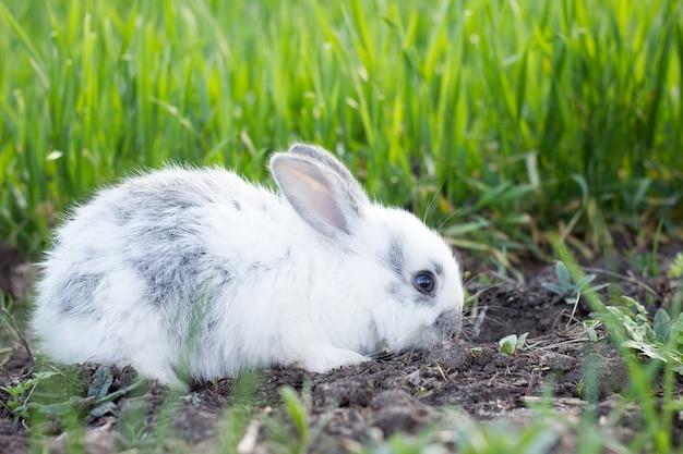 Coelho macio branco pequeno em um prado verde. Foto Premium