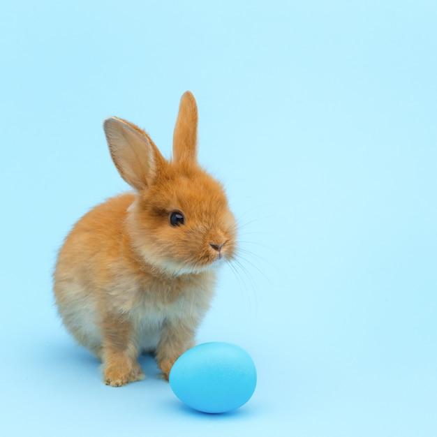 Coelho macio vermelho, com o ovo pintado azul na superfície azul. conceito de férias da páscoa Foto Premium