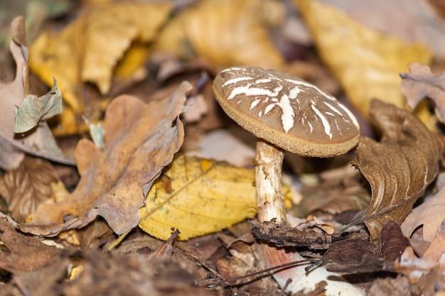 Cogumelo na floresta de outono. cena de cogumelo de floresta de outono. muhsroom nas folhas da queda do outono. Foto Premium