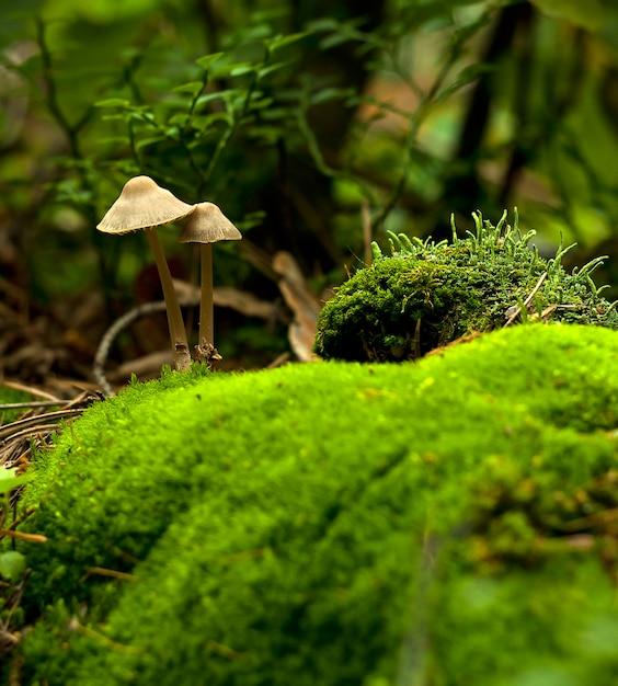 Cogumelos da floresta na grama. Foto Premium