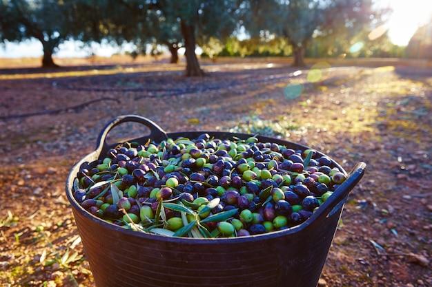 Colheita de colheita de azeitonas na cesta do agricultor Foto Premium