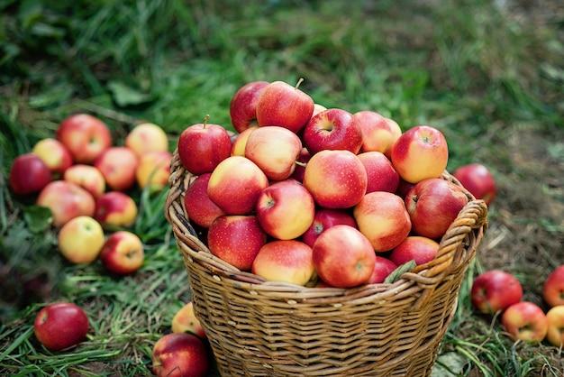 Colheita de maçã. maçãs vermelhas maduras na cesta na grama verde. Foto Premium