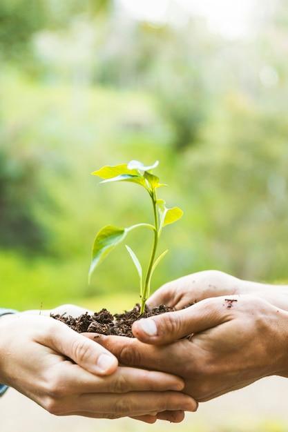 Colheita, mãos, carregar planta Foto gratuita