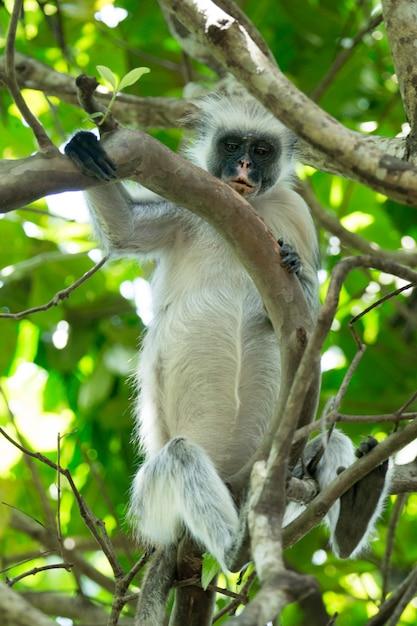 Colobus vermelho piliocolobus kirki macaco na madeira deposta, floresta jozani, zanzibar, tanzânia Foto Premium