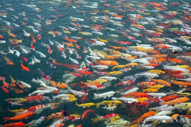 Colorido de peixes bonitos do koi na lagoa. Foto Premium