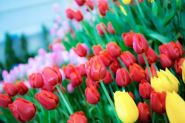 Colorido de tulipas no jardim com linda. Foto Premium