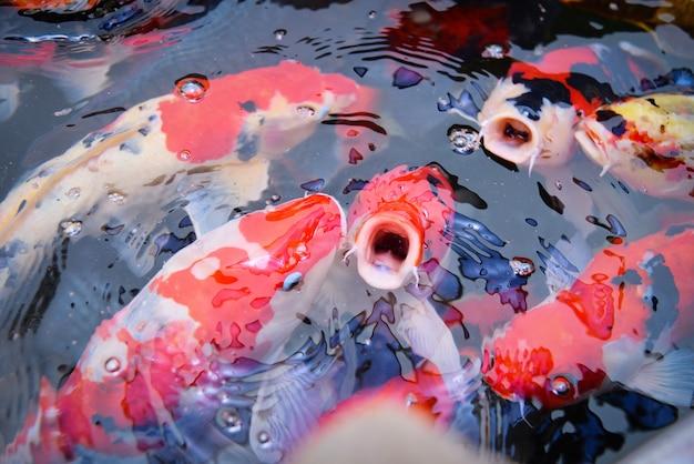 Coloridos, fantasia, koi, peixe, ligado, a, superfície, água, -, bonito, peixe, carpa, natação, em, a, lagoa, jardim, apreciar, alimento alimentação, flutuante Foto Premium