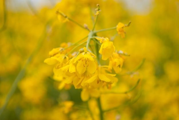 Colza campo amarelo em flor Foto Premium