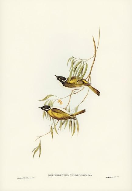 Comedor de mel do rio swan (melithreptus chloropsis) ilustrado por elizabeth gould Foto gratuita