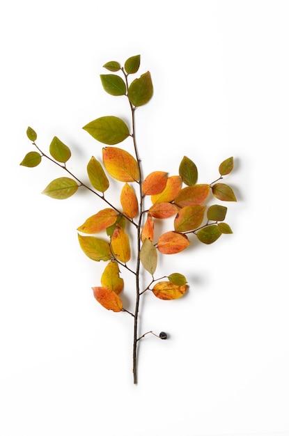 Composição criativa de outono. folhas do ramo e do amarelo de árvore em um fundo branco. Foto Premium