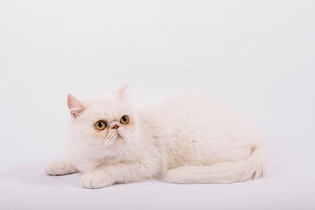 Composição de animais de estimação adorável com gato branco com sono Foto gratuita