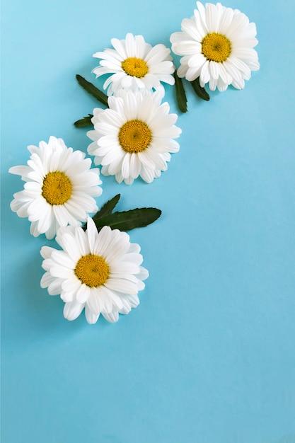 Composição de flores de margaridas brancas em azul Foto Premium