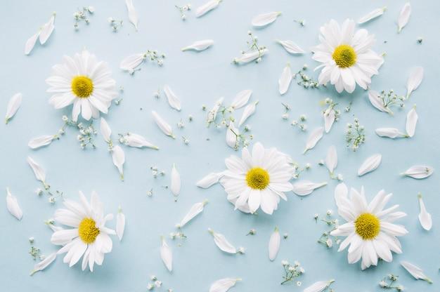 Composição delicada de margaridas, flores de respiração do bebê e pétalas brancas em uma superfície azul clara Foto gratuita