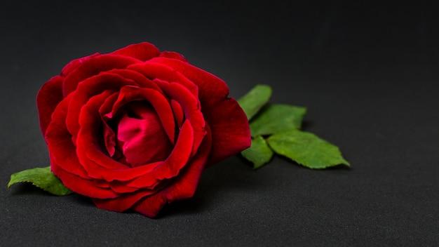 Conceito bonito da rosa vermelha do close-up Foto gratuita