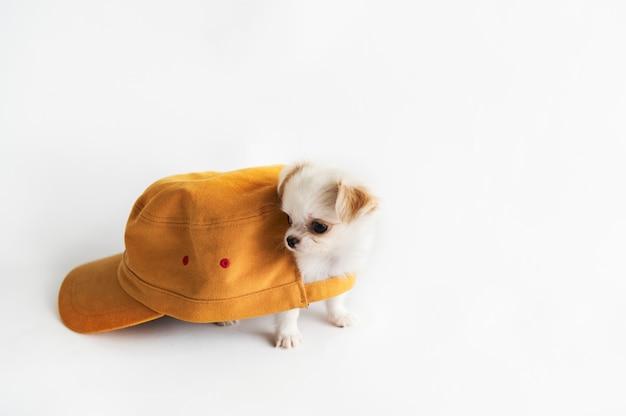 Conceito de cachorro chihuahua em miniatura Foto gratuita