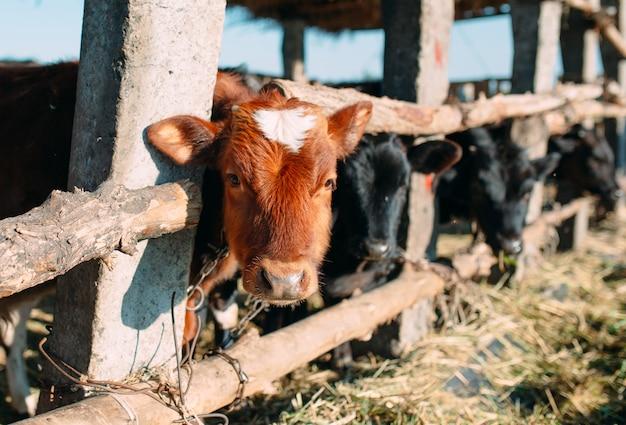 Conceito de indústria agrícola, agricultura e pecuária. rebanho de vacas em estábulo na fazenda de gado leiteiro Foto Premium
