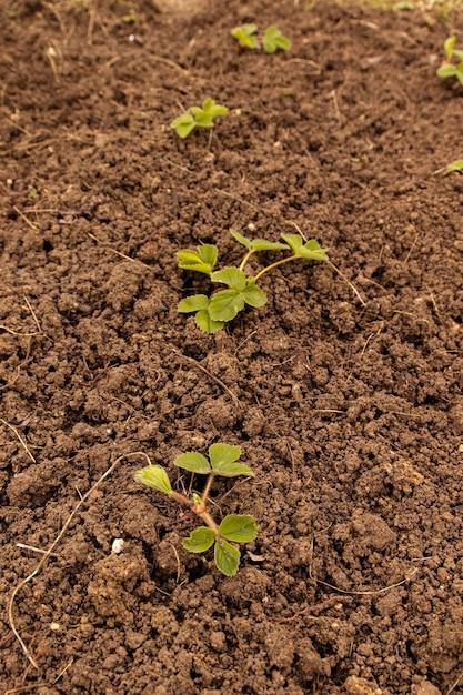Conceito de jardinagem. arbusto de morango verde novo crescido na terra. Foto Premium