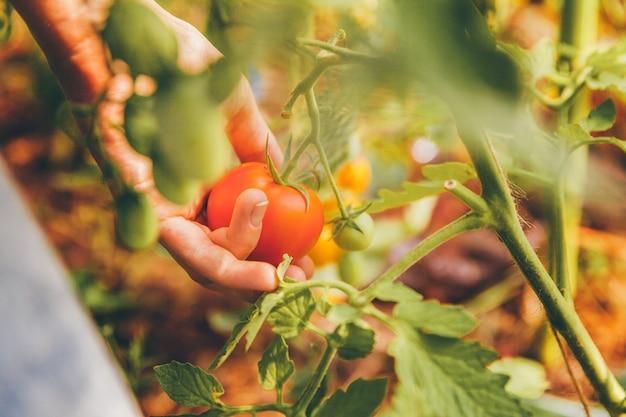 Conceito de jardinagem e agricultura. mãos de trabalhador de fazenda mulher com cesta escolhendo tomates orgânicos maduros frescos. produtos com efeito de estufa. produção de alimentos vegetais. tomate crescendo em estufa. |