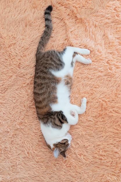 Conceito de sonho doce. um jovem gato dormindo em um sofá em casa. Foto Premium