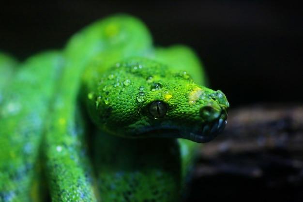 Concentre-se orvalho na cabeça de cobra verde Foto Premium
