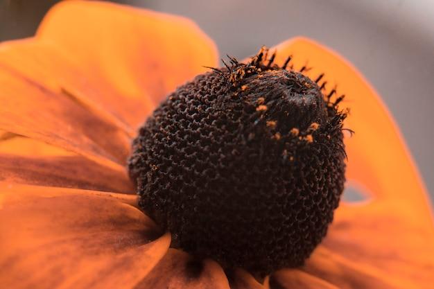 Coneflower alaranjado goldsturm (fulgida do rudbeckia), flores do verão. fechar-se. Foto Premium
