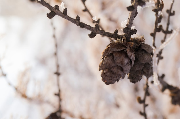 Cones em um ramo de abeto contra um fundo de floresta no inverno Foto Premium