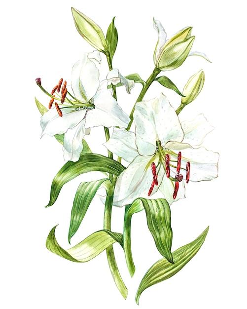 Conjunto de aquarela de lírios brancos, ilustração botânica desenhada mão de flores isoladas em um branco. Foto Premium