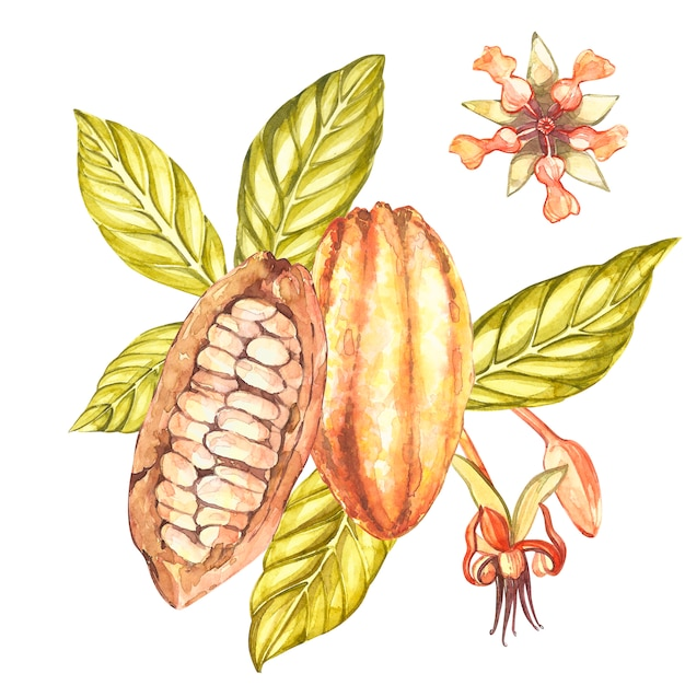 Conjunto de ilustração botânica. coleção de frutos de cacau em aquarela, olhando para as prateleiras mão desenhada plantas de cacau exóticas Foto Premium