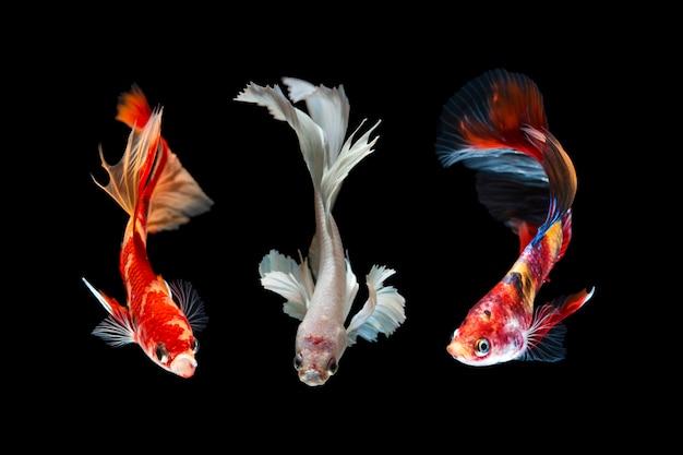Conjunto de peixe betta em preto Foto Premium