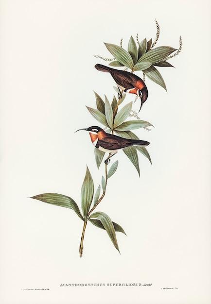 Conta-de-espinha-branca-sobrancelhada (acanthorhynchus superciliosus) ilustrada por elizabeth gould Foto gratuita