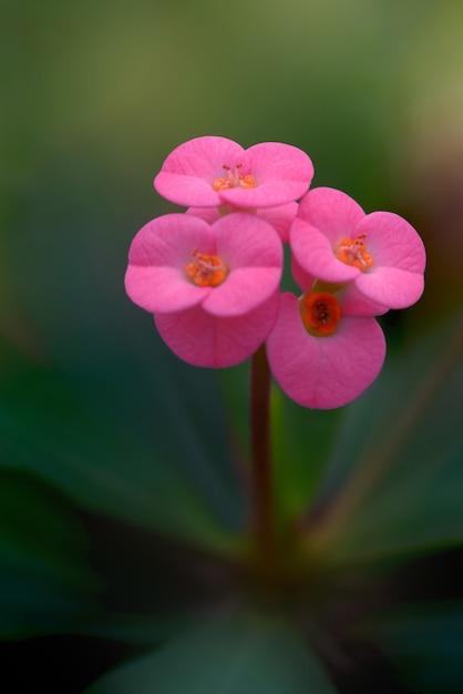 Coroa cor-de-rosa da planta dos espinhos. Foto Premium