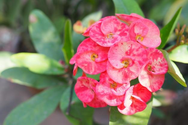 Coroa de flores de espinhos ou poi sian flores no jardim Foto Premium