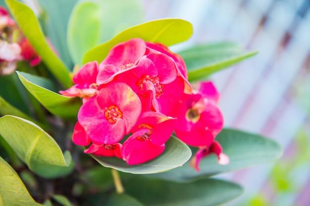 Coroa vermelha de flores de espinhos: euphorbia milli desmoul flor Foto Premium