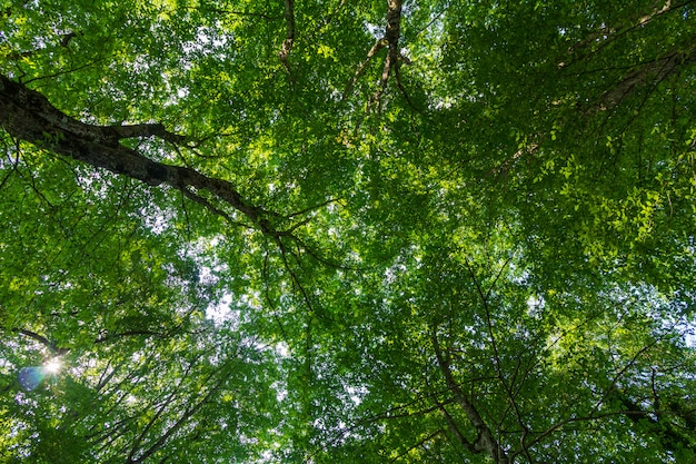 Coroas de árvores com folhas verdes em um dia de verão vista de baixo Foto Premium